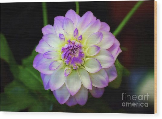 Wood Print featuring the photograph Dahlia Eveline by Patti Whitten