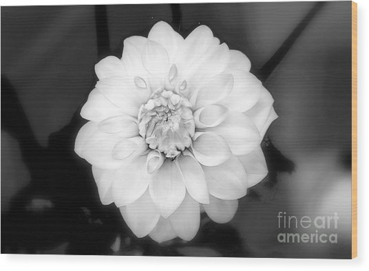 Wood Print featuring the photograph Dahlia Formal by Patti Whitten