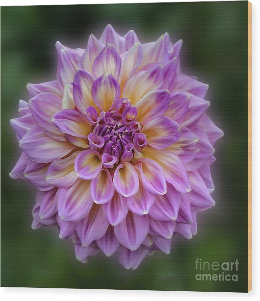 Wood Print featuring the photograph Dahlia 'kidd's Climax' by Ann Jacobson