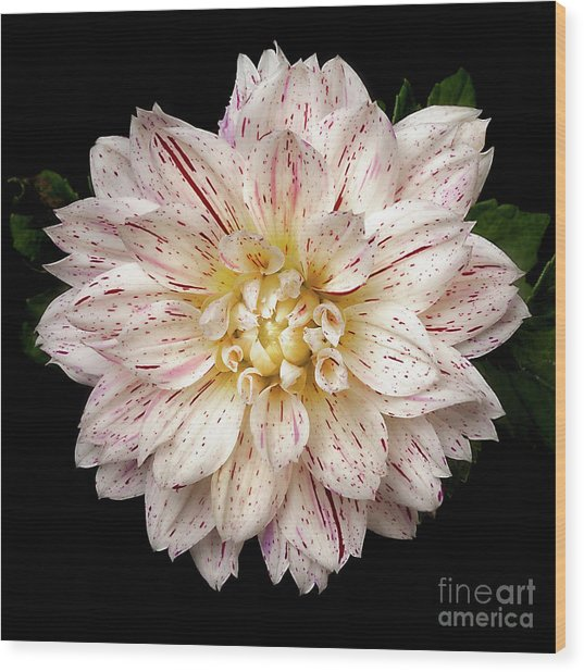 Wood Print featuring the photograph Dahlia 'picasso' by Ann Jacobson