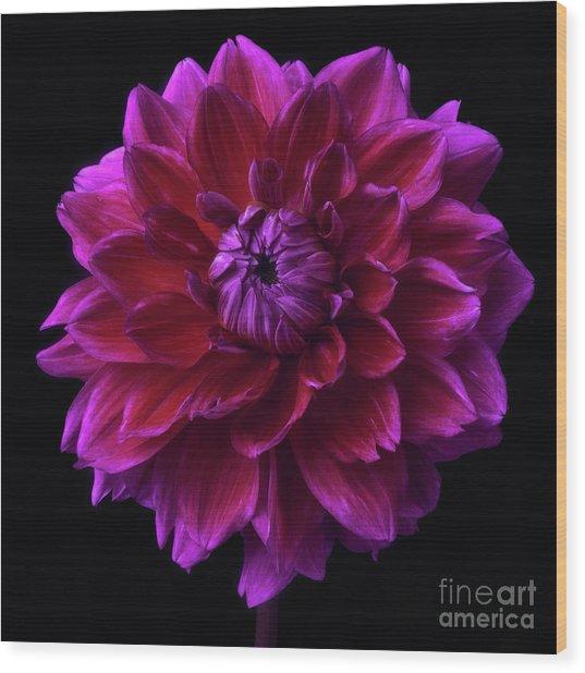 Wood Print featuring the photograph Dahlia 'purplicious' by Ann Jacobson