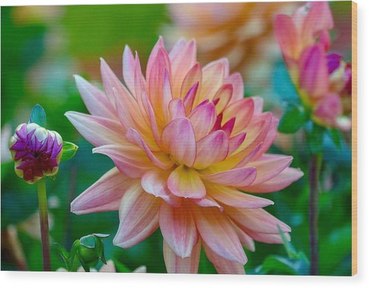 Dahlia Splendor Wood Print