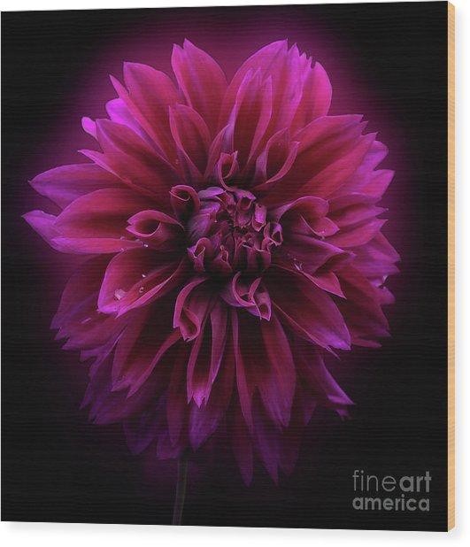 Wood Print featuring the photograph Dahlia 'thomas Edison' by Ann Jacobson