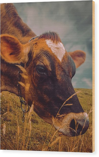 Dairy Cow Eating Grass Wood Print