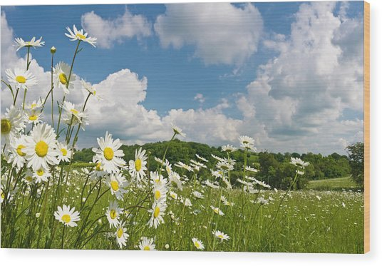 Daisy Meadow Summer Pastoral Wood Print by Fotovoyager