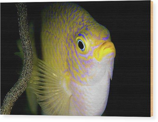 Damsel Fish With Eggs Wood Print
