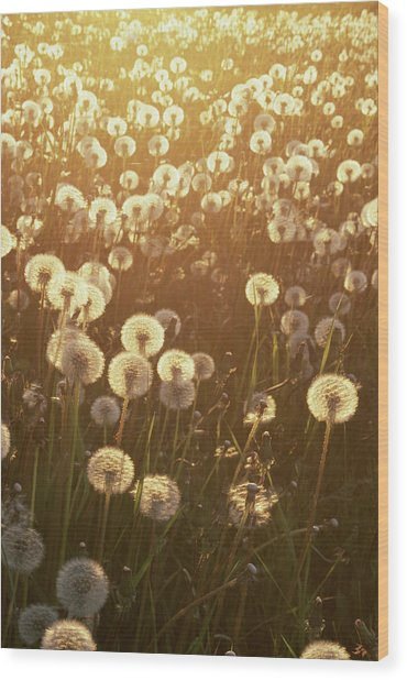 Dandelion Taraxacum Officinale Sunset Wood Print by Stuart Westmorland