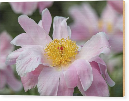 Delicate Pink Peony Wood Print