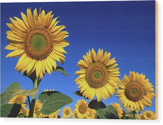 Detail Of Sunflowers, Tuscany, Italy Wood Print by John Elk Iii