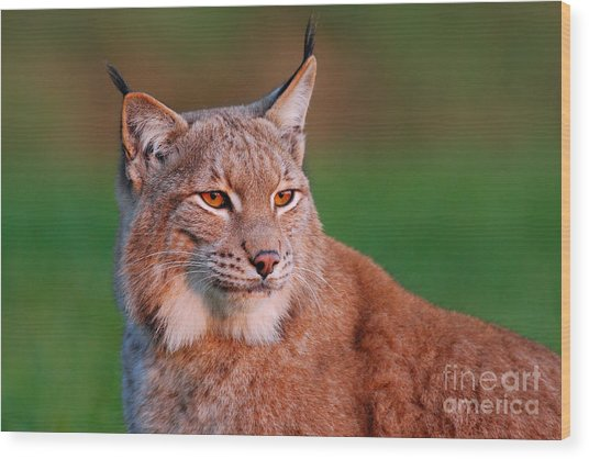Detail Portrait Of Lynx, With Beautiful Wood Print