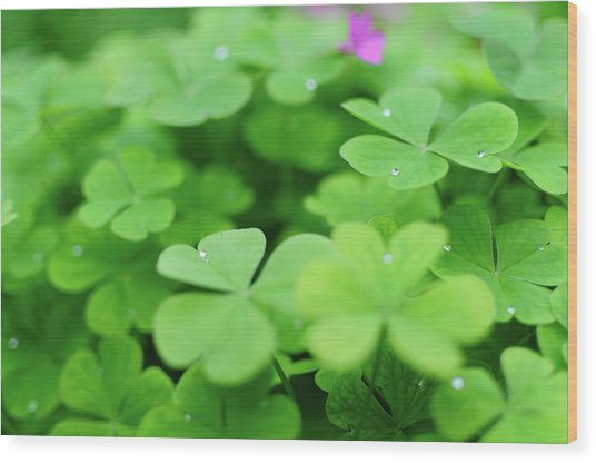 Dew Drops In Clover Field In Provence Wood Print