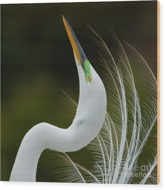 Displaying Great Egret, Kissimmee Wood Print