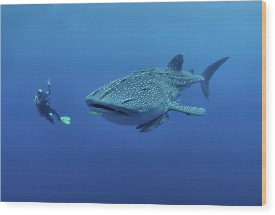 Diver Photographing A Whaleshark Wood Print