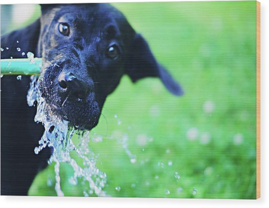 Dog Drinking From A Water Hose Wood Print by Crissy Kight / Www.dearcrissy.com