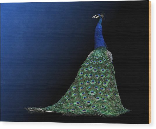 Dressed To Party - Male Peacock Wood Print