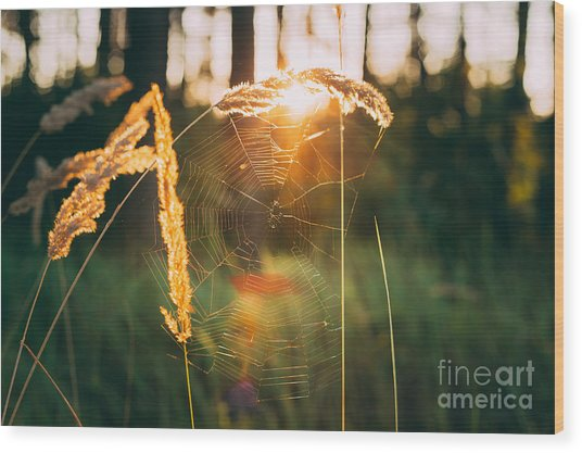 Dry Green Grass Field In Sunset Wood Print