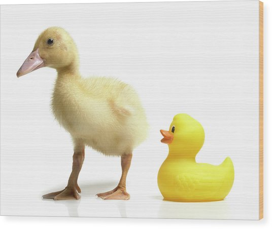 Duckling And Rubber Duck Wood Print by Fuse