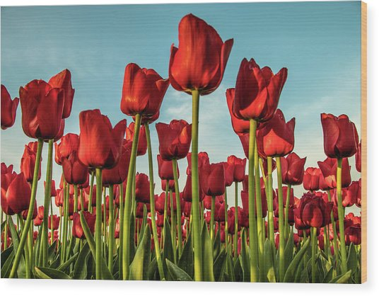 Wood Print featuring the photograph Dutch Red Tulip Field. by Anjo Ten Kate