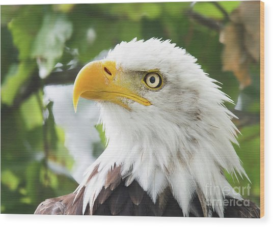 Bald Eagle Perched In A Tree Wood Print