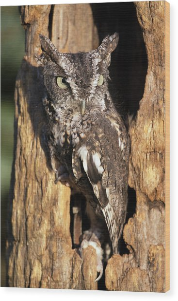 Eastern Screech Owl 92515 Wood Print