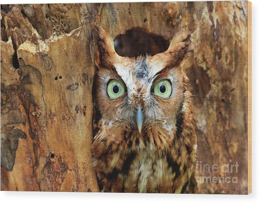 Eastern Screech Owl Perched In A Hole In A Tree Wood Print