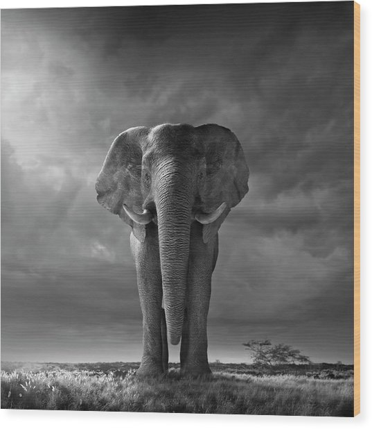 Elephant Walking In Grassy Field Wood Print by Chris Clor