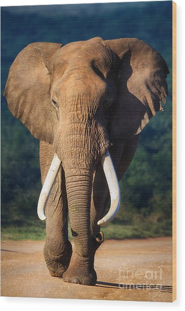 Elephant With Large Teeth Approaching - Wood Print