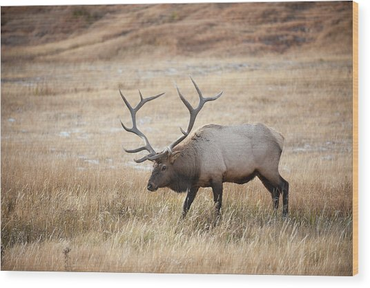 Elk In Yellowstone National Park Wood Print