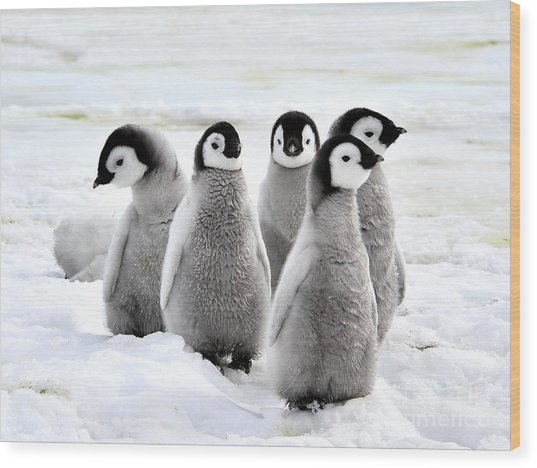 Emperor Penguin Chicks On The Snow In Wood Print
