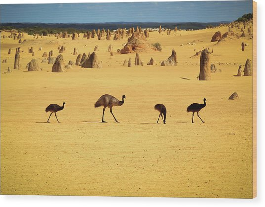 Emus In Nambung National Park Wood Print by Photography By Ulrich Hollmann