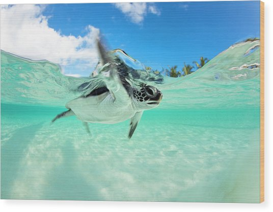 Endangered Baby Green Sea Turtle Wood Print