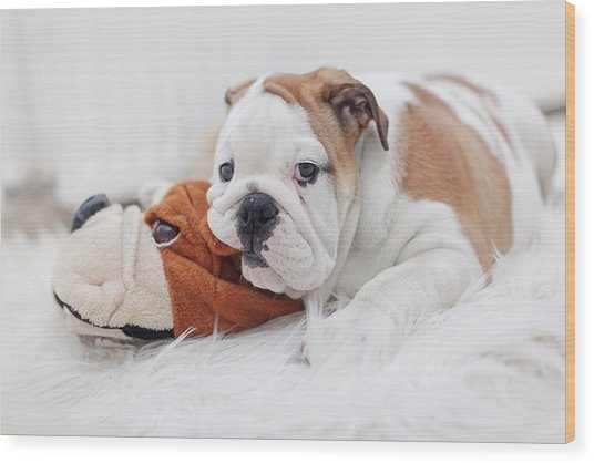 English Bulldog Puppy Wood Print by Carol Yepes