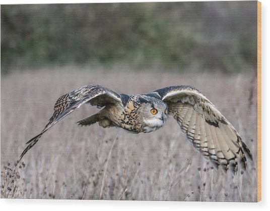 Eurasian Eagle Owl In Flight Wood Print