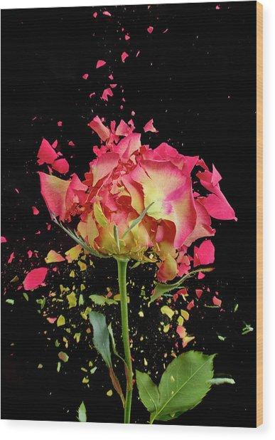 Exploding Rose Wood Print by Don Farrall