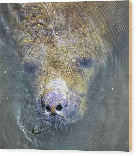 Face Of The Manatee Wood Print