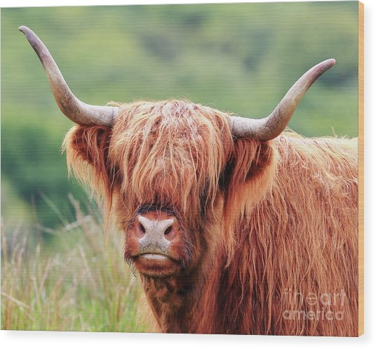 Face-to-face With A Highland Cow Wood Print