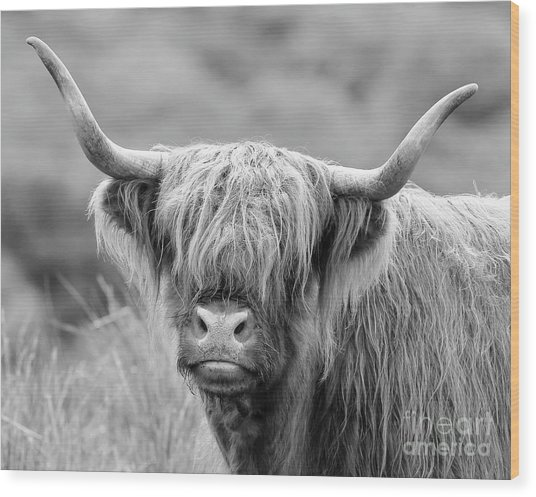 Face-to-face With A Highland Cow - Monochrome Wood Print