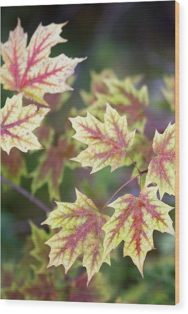 Fall Red And Yellow Leaves 10081501 Wood Print