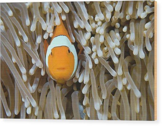 False Clown Fish Amphiprion Ocellaris Wood Print