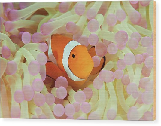 False Or Western Clown Anemonefish Wood Print