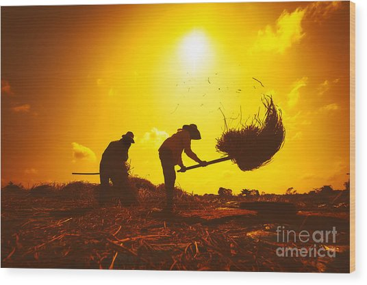 Farmers Silhouettes At Sunset. Rice Wood Print