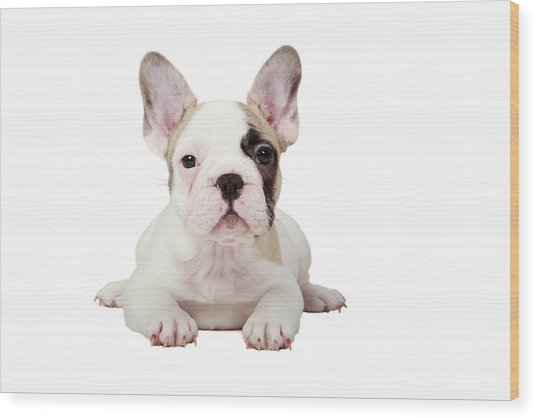 Fawn Pied French Bulldog Puppy Wood Print by Mlorenzphotography