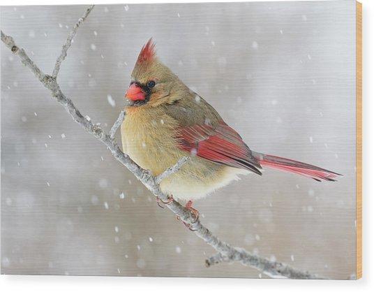 Female Northern Cardinal In Snow Wood Print by Adam Jones