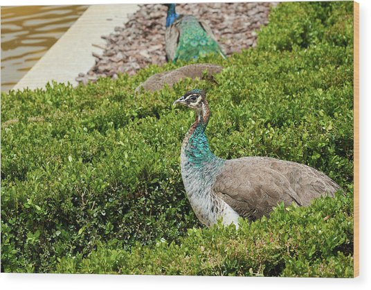 Female Peafowl At The Gardens Of Cecilio Rodriguez In Madrid, Spain Wood Print