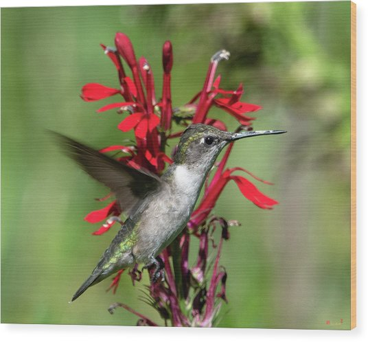 Female Ruby-throated Hummingbird Dsb0325 Wood Print