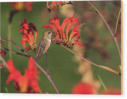 Female Rufous Hummingbird At Rest Wood Print