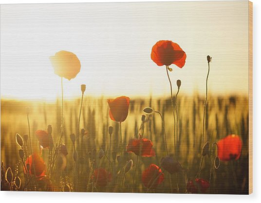 Field Of Poppies At Dawn Wood Print