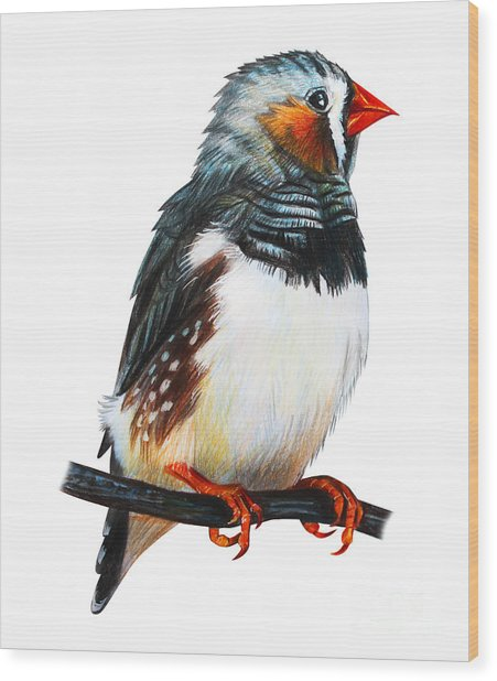 Finches Bird Drawing Taeniopygia Guttata Wood Print