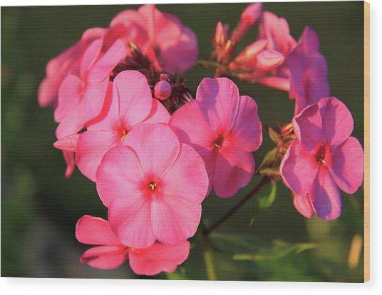 Flaming Pink Phlox Wood Print