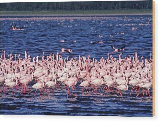 Flamingo Colony Wood Print by Nature/uig